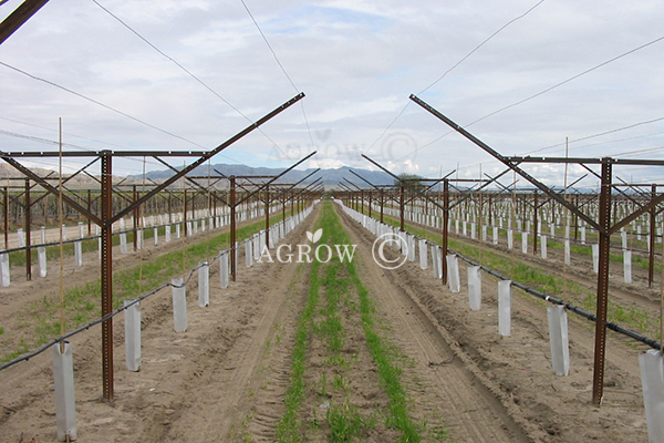 Vineyard Open Gable Trellis System
